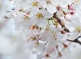 桜の開花予想について